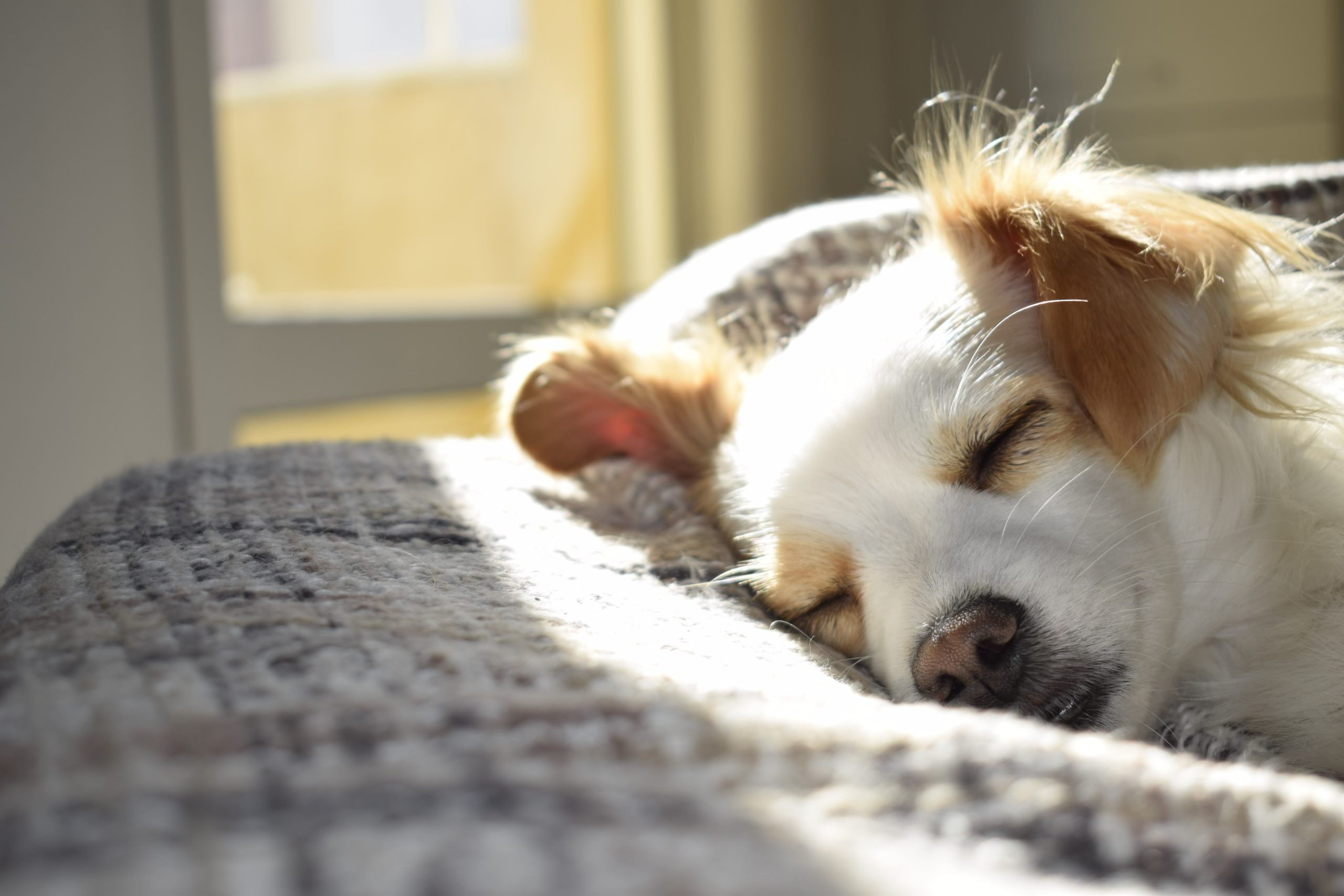adult dog laying in the sun on a bed