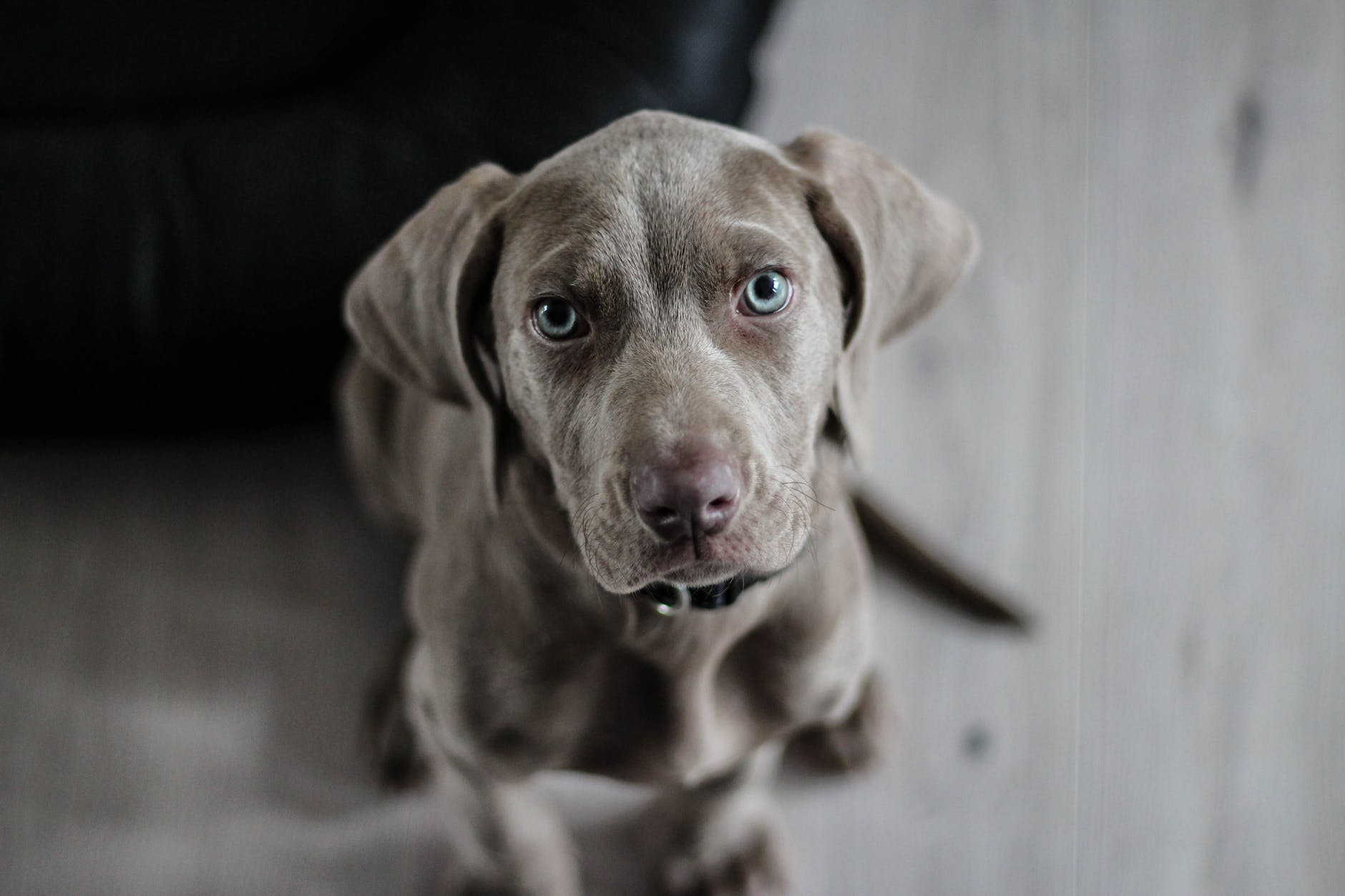 W grey Weimaraner dog sitting on a hard floor and staring up at the camera